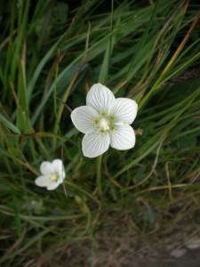 Blume_weiss